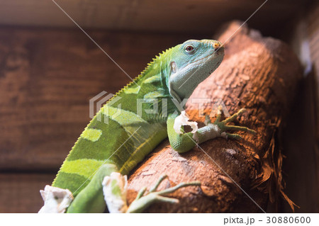 ヒロオビフィジーイグアナ イグアナ 動物 30880600