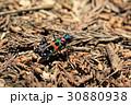 ハンミョウ 昆虫 虫の写真 30880938
