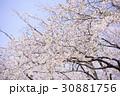 青空とソメイヨシノ 30881756
