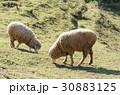 ひつじ ヒツジ 羊の写真 30883125