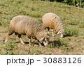 ひつじ ヒツジ 羊の写真 30883126