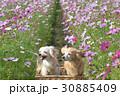ペット ミックス犬 犬の写真 30885409