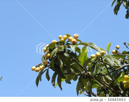 実が熟し始めたビワの木 30885663