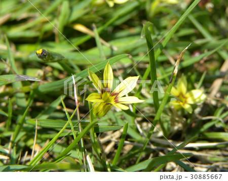 一際目立つ黄色の小さな花はニワゼキショウ 30885667