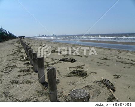 漁礁として植えられたアマモが打ち上げられた稲毛海岸 30887601