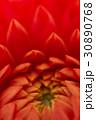 ダリア 花 クローズアップの写真 30890768