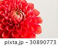 ダリア 花 クローズアップの写真 30890773