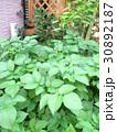 庭でじゃがいも作り♪ 家庭菜園 自家栽培 30892187