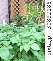 庭でじゃがいも作り♪ 家庭菜園 自家栽培 30892188