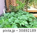 庭でじゃがいも作り♪ 家庭菜園 自家栽培 30892189