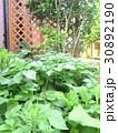 庭でじゃがいも作り♪ 家庭菜園 自家栽培 30892190