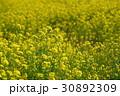 菜の花畑 30892309