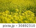 菜の花畑 30892310