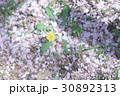 たんぽぽと桜の花びら 30892313