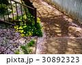 オオキバナカタバミと桜の花びら 30892323