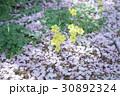 オオキバナカタバミと桜の花びら 30892324