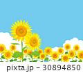 ひまわり 向日葵 夏のイラスト 30894850