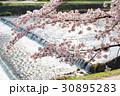 賀茂川の春 30895283