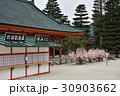 桜みくじ 神社 京都の写真 30903662