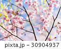 葉桜  30904937