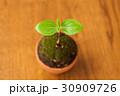 葉 新芽 発芽の写真 30909726