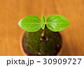 葉 新芽 発芽の写真 30909727