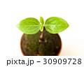 葉 新芽 発芽の写真 30909728