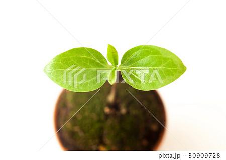 新しい葉, エコイメージ 30909728