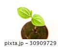 葉 新芽 発芽の写真 30909729