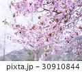 桜(ハイキー) 30910844