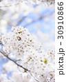 ソメイヨシノ 30910866