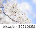 ソメイヨシノ 30910868