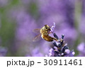 ラベンダー 花 植物の写真 30911461