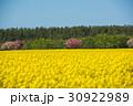 旅、東北、下北半島、絶景の菜の花と桜 30922989