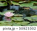 植物 花 日本 睡蓮 30923302
