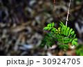 山椒の花 30924705