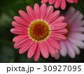 マーガレット 花 ピンクの写真 30927095