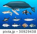 動物 サカナ 魚のイラスト 30929438