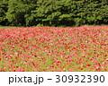 森を背にした「くりはま花の国」のポピー(1) 30932390