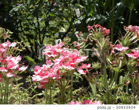小さい花が頭上に着くビジョザクラの桃色の花 30933934