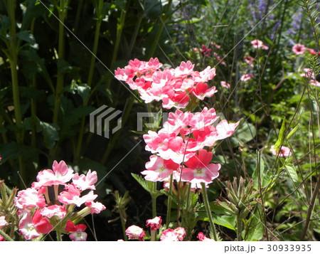 小さい花が頭上に着くビジョザクラの桃色の花 30933935