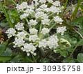 稲毛海岸に帰ってきたハマボウフウの白い花 30935758