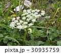 稲毛海岸に帰ってきたハマボウフウの白い花 30935759