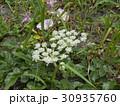 稲毛海岸に帰ってきたハマボウフウの白い花 30935760