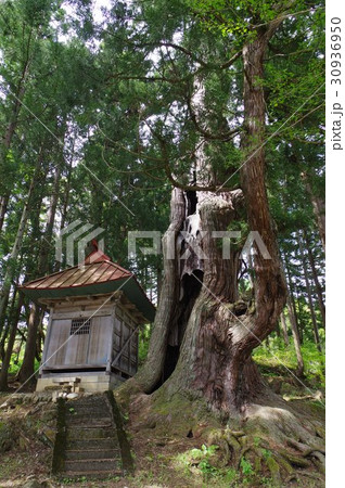 信州 小谷村 長野県天然記念物指定 石原白山社の大杉 周囲12メートルの巨木 推定樹齢800年 30936950