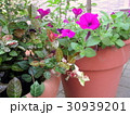 鉢植えの初雪カズラ 30939201