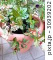 鉢植えの初雪カズラ 30939202