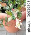 鉢植えの初雪カズラ 30939203