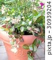 鉢植えの初雪カズラ 30939204