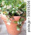 鉢植えの初雪カズラ 30939206